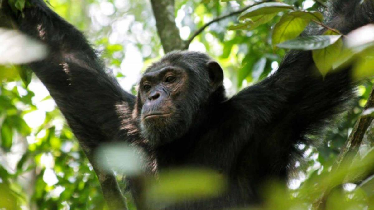 Die letzten Berggorillas schützen im Virunga-Nationalpark im Kongo